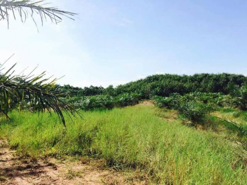 ขายด่วน ราคาถูก ที่ดินสวย ทำเลดี พร้อมสวนปาล์มและยางพารา จังหวัดตรา