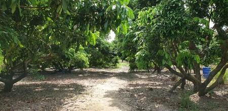 ขายที่ดินทำเลดี สวนลำใย 5 ไร่ 2 งาน ใกล้ดอยอินทนนท์