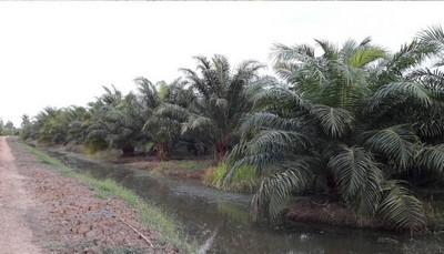 ขายที่ดินเป็นสวนปาล์ม อายุ 4 ปี หนองแค สระบุรี (คลอง 13 หนองเสือ) เนื้อที่ 65 ไร่ พร้อมเก็บผลผลิต